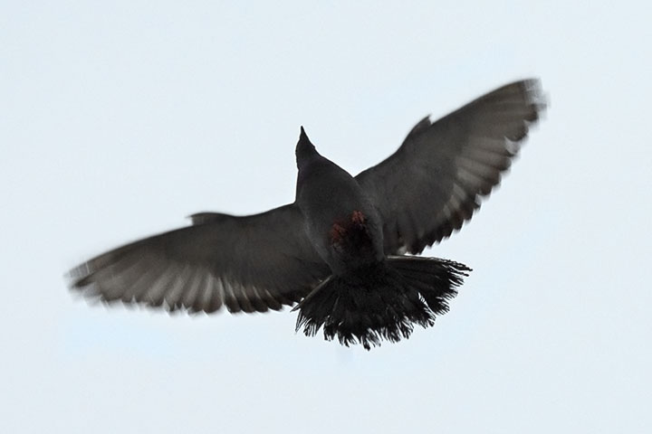 A Pigeon deploys its alulae