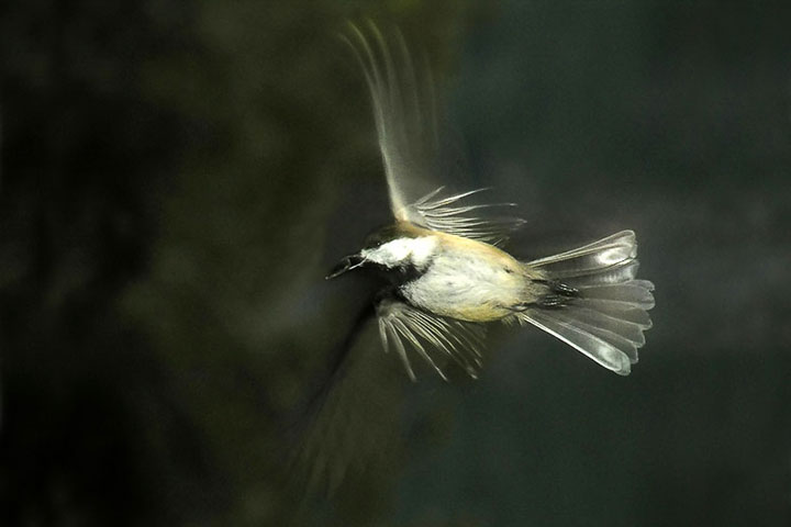 A Black–capped Chicadee flies off with a seed