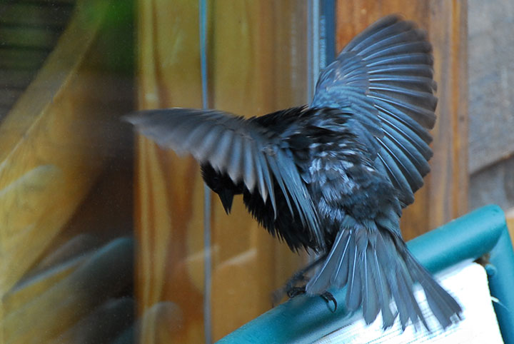 A Brown–headed Cowbird challenges its own reflection in a window