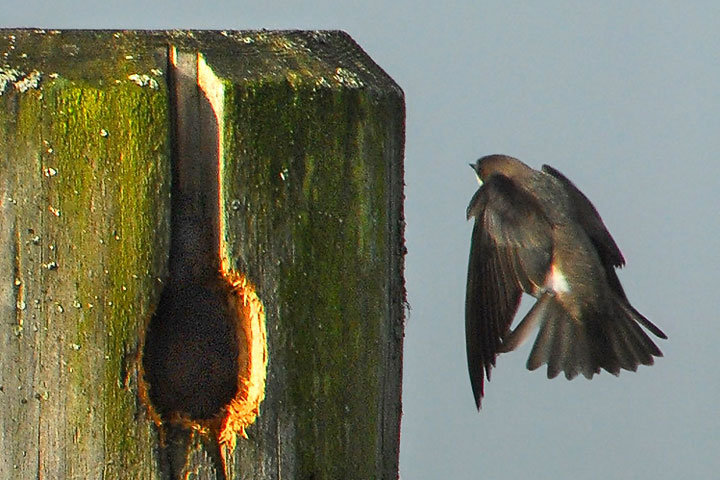 A Tree Swallow approaches its nest