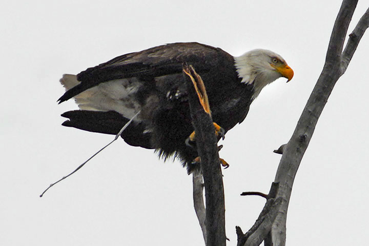 An Bald Eagle lightens its load before taking off