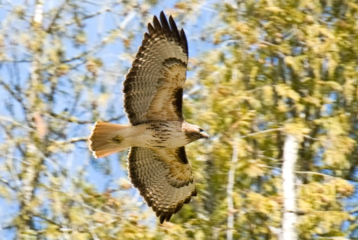 A Red–tailed Hawk flies by