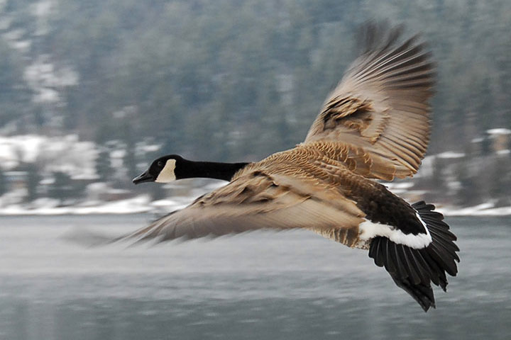 A Canada Goose flies by