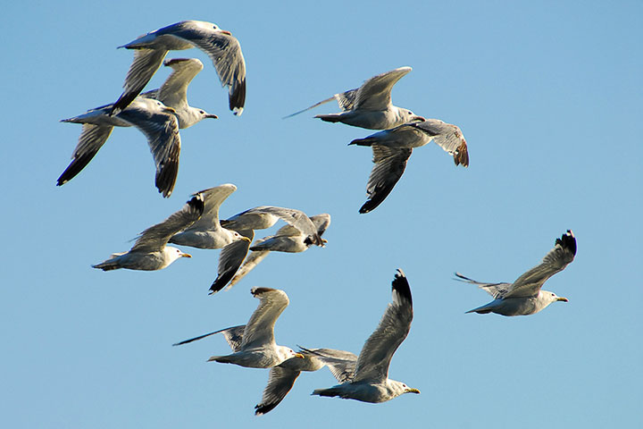 California Gulls migrate along the Lake