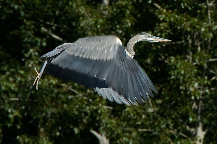 A Great Blue Heron launches itself into the air