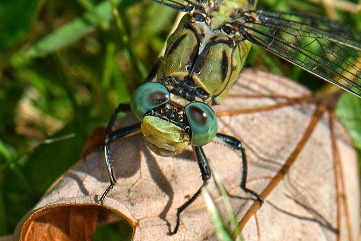Pale Snaketail (dragonfly)