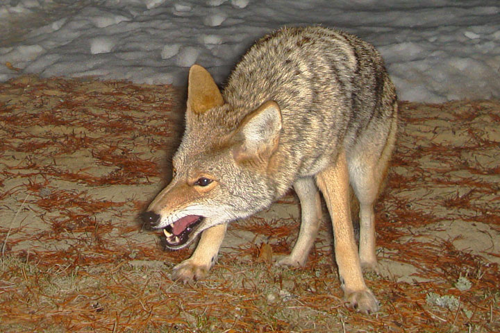A Coyote snarls at an intruder