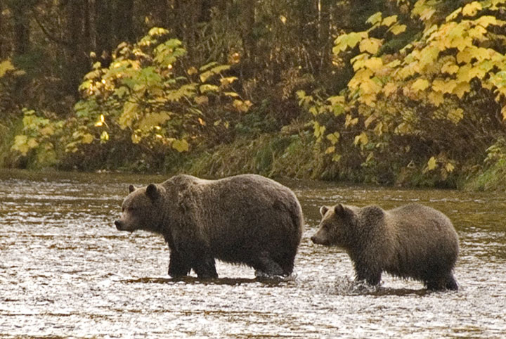 Grizzly Bears: sow and cub