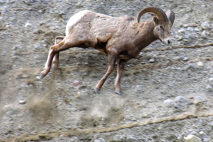 A Bighorn Ram loses its footing and falls from a bank