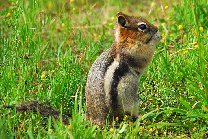Golden–mantled ground squirrel