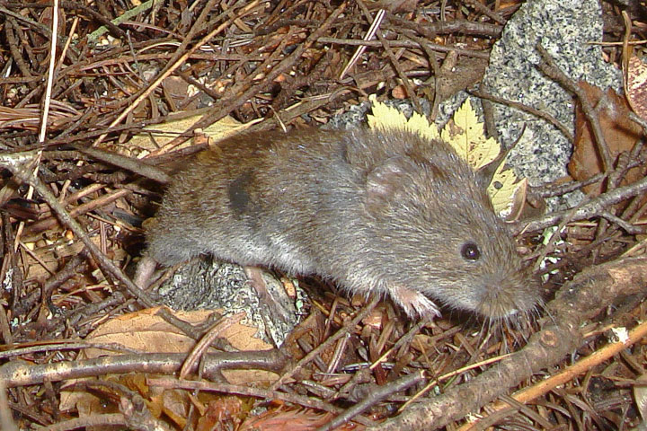 A Southern Red–backed Vole bounds forward